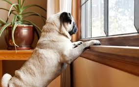Köpekleri Evde Yalnız Kalmaya Alıştırmak