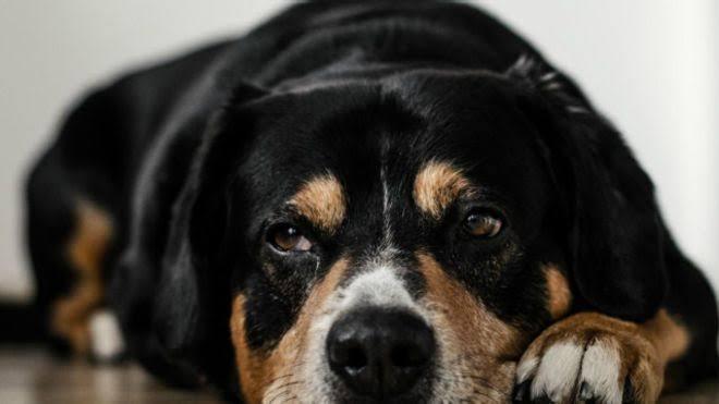 Köpeklerde Karamsarlık ve Davranışlara Etkisi