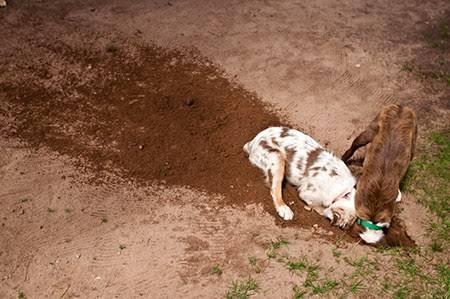 Köpeğinizde Kazma İçgüdüsünün Kontrolü