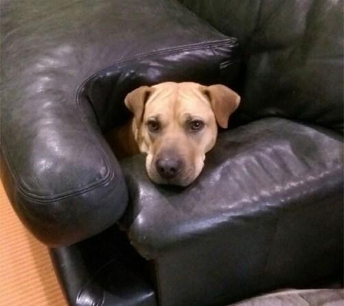 Köpeğiniz Koltuklara Çıkıyormu ?