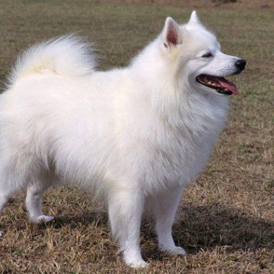 American Eskimo Dog Özellikleri ve Eğitimi