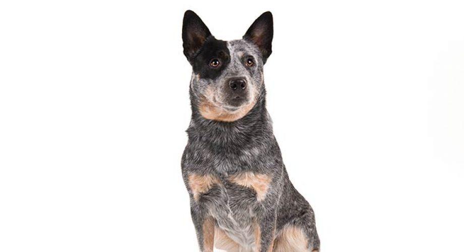 Australian Cattle Dog Özellikleri ve Eğitimi