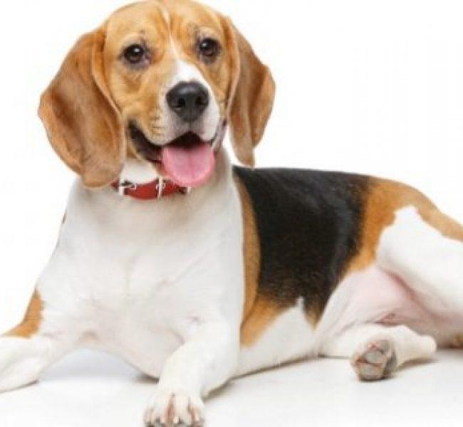 Beagle Irk Özellikleri ve Eğitimi
