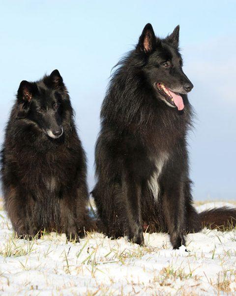 Belgian Shepherd Irk Özellikleri ve Eğitimi