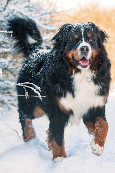 Bernese Mountain Dog Irk Özellikleri ve Eğitimi