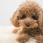 Poodle Irkı ve Özellikleri