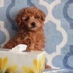 Toy Poodle Cinsinin Kendi Irkına Özgü Özellikleri